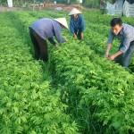 Kỹ thuật trồng và chăm sóc cây Lim (Lim xanh) - ky thuat trong va cham soc cay lim lim xanh 150x150
