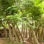 Kỹ thuật trồng và chăm sóc cây Lim xẹt - ky thuat trong va cham soc cay lim xet 150x150