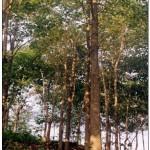 Kỹ thuật trồng và chăm sóc cây Lõi thọ - ky thuat trong va cham soc cay loi tho 150x150
