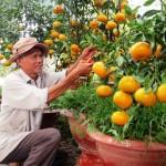 Kỹ thuật trồng và chăm sóc cây Quýt - ky thuat trong va cham soc cay quyt 150x150