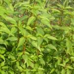 Kỹ thuật trồng và chăm sóc cây rau Đay