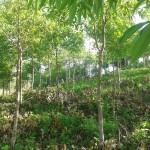 Kỹ thuật trồng và chăm sóc cây Re hương