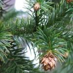 Kỹ thuật trồng và chăm sóc cây Sa Mộc