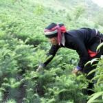 Kỹ thuật trồng và chăm sóc cây  Samu - ky thuat trong va cham soc cay samu 150x150