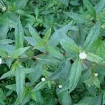 Kỹ thuật trồng và chăm sóc cây thuốc nam