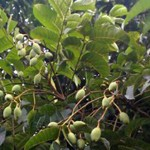 Kỹ thuật trồng và chăm sóc cây Trám Trắng