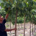 Kỹ thuật trồng và chăm sóc cây Trôm - ky thuat trong va cham soc cay trom 150x150