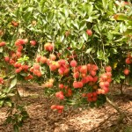 Kỹ thuật trồng và chăm sóc Chôm Chôm