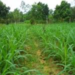 Kỹ thuật trồng và chăm sóc cỏ VA06 - ky thuat trong va cham soc co va06 150x150