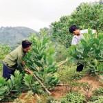 Kỹ thuật trồng và chăm sóc Keo Lai