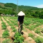 Kỹ thuật trồng và chăm sóc Sắn KM94 - ky thuat trong va cham soc san km94 150x150