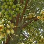 Kỹ thuật trồng và kích thích Sầu Riêng ra hoa trái vụ