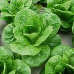 Kỹ thuật trồng Xà Lách Romaine