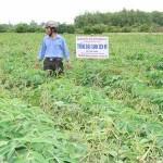 Kỹ thuật trồng xen canh Đậu xanh và Sắn