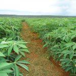 Kỹ thuật và chăm sóc trồng Sắn (Khoai mì) - ky thuat va cham soc trong san khoai mi 1 150x150