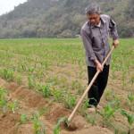 Mật độ và khoảng cách trồng Ngô