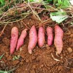 Mô hình trồng Khoai Lang nhật