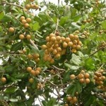 Mô hình trồng Nhãn tiêu huế