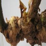 Một số bệnh thường gặp trên cây Gừng - mot so benh thuong gap tren cay gung 150x150