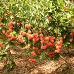 Một số bệnh trên cây Chôm Chôm - mot so benh tren cay chom chom 1 150x150