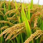 Một số giống Lúa có hàm lượng Protein cao - mot so giong lua co ham luong protein cao 150x150