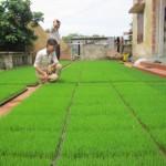 Một số phương pháp gieo mạ xuân muộn