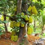 Một số sâu bệnh hại trên cây Mít