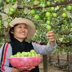 Một số thông tin về kĩ thuật trồng Táo