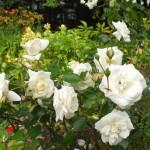Cách để cây hoa hồng ra nhiều bông - muon cay hoa hong ra nhieu bong 150x150