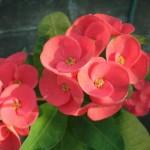 Nhân giống cây hoa bát tiên