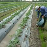 Những điều cần biết khi trồng dưa Hấu - P1 - nhung dieu can biet khi trong dua hau p1 150x150