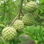Phân bón cơ bản sử dụng cho cây ăn trái
