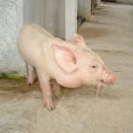Phòng bệnh đường hô hấp ở Lợn
