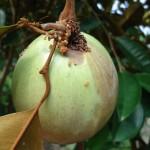 Phòng trừ sâu bệnh hại trên cây Vú Sữa