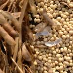 Phương pháp bảo quản hạt Đậu Nành (Đậu Tương) - phuong phap bao quan hat dau nanh dau tuong 150x150