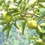 Phương pháp chống rụng hoa, quả non ở cây ăn quả