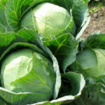 Quy trình trồng rau bắp cải an toàn