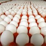 Sản xuất và bảo quản trứng Gà giống an toàn