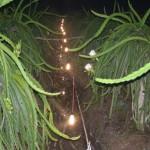 Sử dụng bóng đèn Compact cho Thanh Long ra hoa trái vụ - su dung bong den compact cho thanh long ra hoa trai vu 150x150