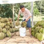 Thu hoạch, bảo quản Sầu Riêng - thu hoach bao quan sau rieng 150x150