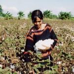 Thu hoạch và phân loại bông