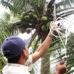 Thụ phấn cho Dừa Sáp - thu phan cho dua sap 150x150