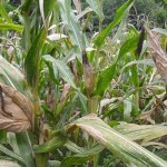 Triệu chứng khi cây Ngô thiếu dinh dưỡng - trieu chung khi cay ngo thieu dinh duong 150x150