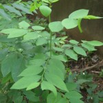 Trồng cây rau Ngót - trong cay rau ngot 150x150