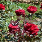 Trồng hoa Hồng thương phẩm - trong hoa hong thuong pham 150x150