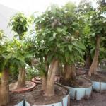 Cách ươm trồng cây Lộc Vừng