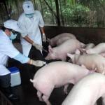 Vắc xin phòng chống dịch Lợn tai xanh
