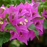 Xử lý hoa Giấy ra hoa quanh năm - xu ly hoa giay ra hoa quanh nam 150x150