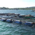 Mô hình nuôi cá Bóp lồng bè trên biển