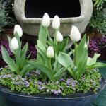 Kỹ thuật trồng hoa Tulip trong chậu
